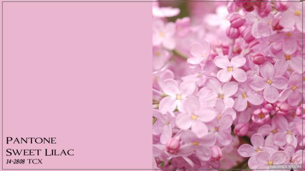 Sweet Lilac Сладкая сирень
