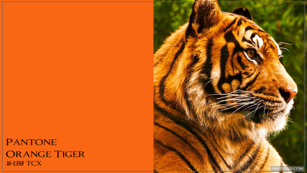 Orange Tiger Оранжевый тигр