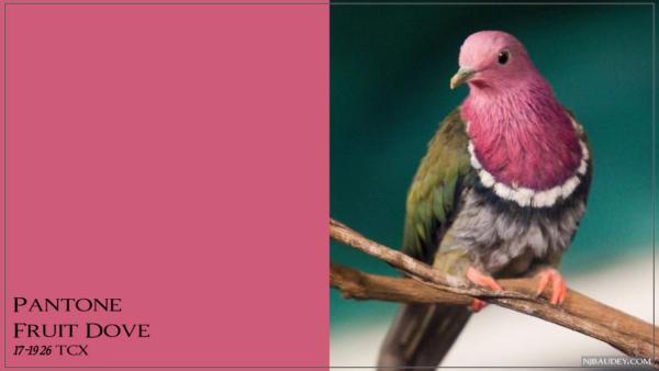 Fruit Dove Фруктовый голубь