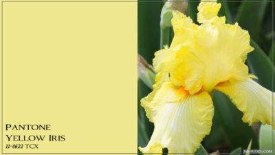 PANTONE 11-0622 Yellow Iris Желтый ирис